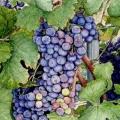 Barbera Grapes, Piemonte –sold