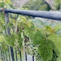 Grapes of Rocchetta Nervina –sold