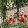 Poppies at Castello di Carpineti –sold