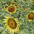 Girasoli (Sunflowers)
