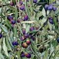 Assisi Olives